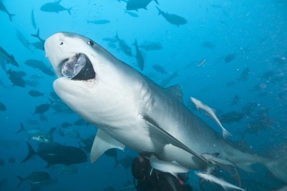 Tigers Eat Fish Fish Guess Tiger Shark
