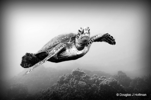 This turtle had just taken a breath and was swimming over the roof looking to settle on a bit of reef just behind me.