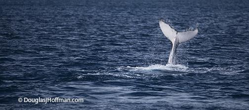 Baby whale having fun making splashes