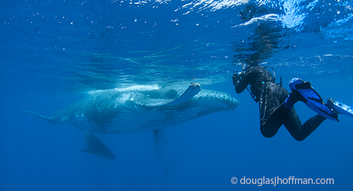 whale swimming in tonga. Black Bedroom Furniture Sets. Home Design Ideas