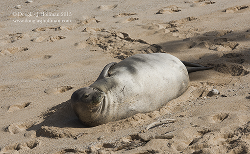 Rare sighing of Hawaiian Monk Seal