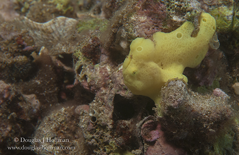 Tiny Frog fish.web