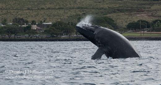 Whales love Maui!