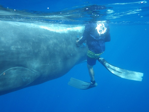 Douglas sharing a moment with a Sperm Whale.  Under Govt. Permit.